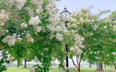 July 2021: Crepe Myrtle Month